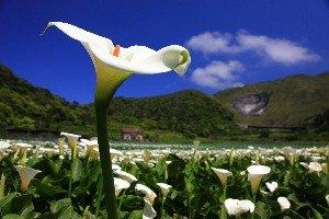สวนดอกคาล่าลิลลี่ไฉ่ฝู่(財福海芋田)